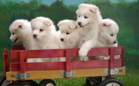 Free Wagonload of White Pupplies