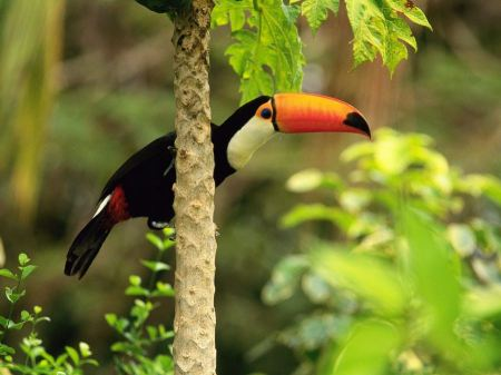 Free Tropical Toucan