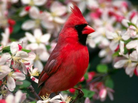 Free Cardinal in the Flowers