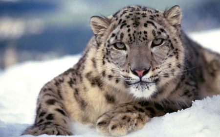 Free Staring Snow Leopard