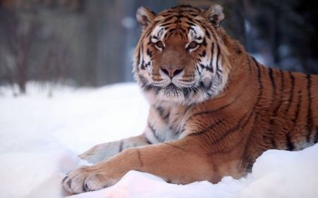 Free Tiger Resting in Snow