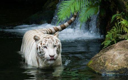 Free White Tiger Trekking Through Water