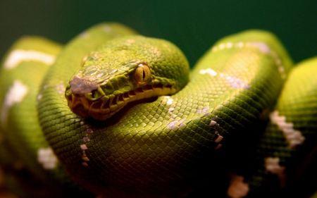 Free Resting Green Snake