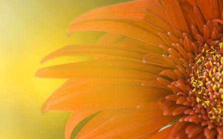 Free Widescreen Sunflower
