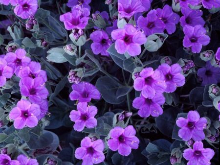 Free Giant Four O'Clock Flowers Wallpaper