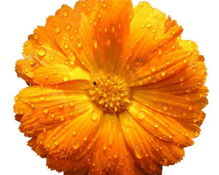 Free Drops on Orange Flower