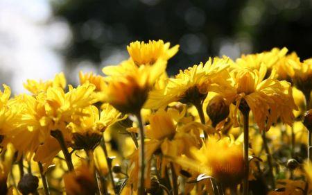Free Sunflowers