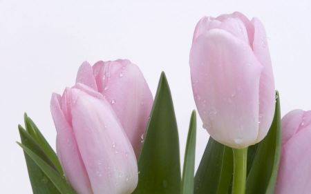 Free Lovely Pink Buds