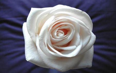 Free White Rose