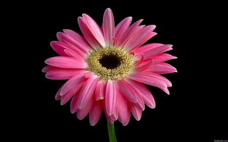 Free Beautiful Pink Daisy
