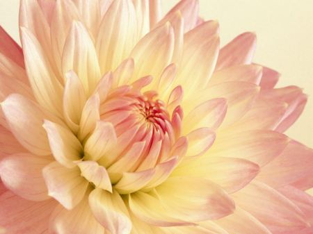 Free Pale Pink and Yellow Dahlia Wallpaper